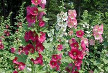 hollyhocks love
