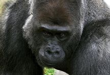 Year of the Gorilla / It's the Year of the Gorilla at Philadelphia Zoo! / by Philadelphia Zoo