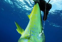 Spearfishing / Diving the blue