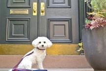 Animals - Pups - Bichon's / by Danielle Edwards