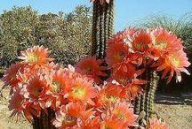 kaktusy vip