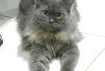 my cute persian, Grey ^^