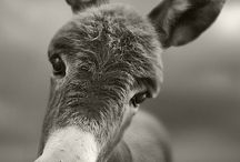 I LOVE Donkeys / I LOVE donkeys, just like the title says. Some day I hope to have one of my very own. :-)