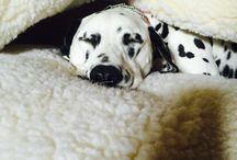 Dream pooch