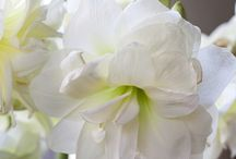 Our Amaryllis bulbs / These are the beautiful & great quality bulbs we sell! Visit our website: www.flowerbulbsrus.com