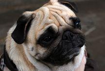 Pug Cookie 1