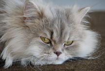 Persian Cat / Persian Cat