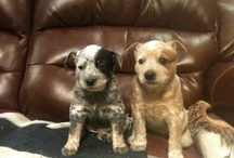 Blue and Red Heelers.