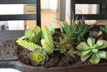 Suculent / Garden