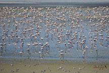 Lagunas de Fuente de Piedra y Campillos / Birds of the Fuente de Piedra and Campillos Lakes Nature Reserves. Flamingos, Cranes, farmlands... Birdwatching tours (Costa del Sol, Malaga, Andalucia, Southern Spain)