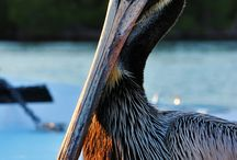Animal | Pelicans / by Laurel Webster