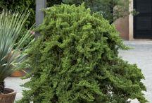 Junip. procumbens-Kúszó boróka