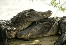 crocodiles that melt my heart