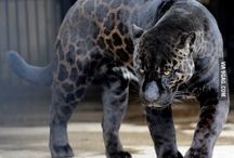 big black cats