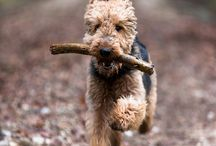 Welsh terriers / I want one!!