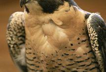 Falcon girl / by Jennie Tracy