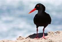 ANIMAL ● OYSTERCATCHER