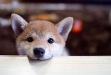 動物:柴犬