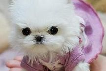 I love Maltese puppies