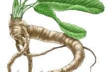 Growing Horseradish