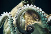 Octopus color