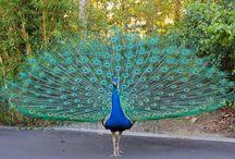Peacocks / by Leisa Shannon Corbett Art Studio