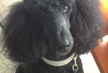 Debbi's Standard Poodles! / by Debbi ♥