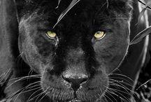 пантера ,для котика