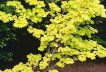 The beauty of 'Acer'