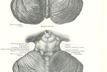 Anatomy print