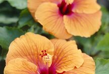 &HIBISCUS / A great garden plant!