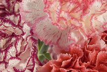 Carnations / by BFFlowers Online Florist