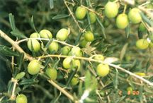 Garden: Olive Orchard