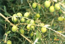 Garden: Olive Orchard