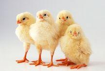 Tapety - zwierzęta - kury, kaczki i kurczaki