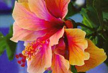 Flowers    ( Hibiscus )