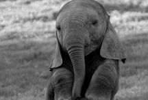 "Elephants / ""I have a memory like an elephant.  I remember every elephant I've met."" / by Sherry Turner"