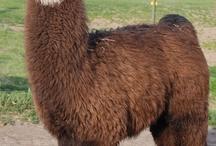 Plan: OMG Llama and Goat Ranch / by Susan Lloyd