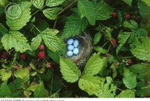 Birds/Nests