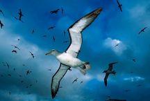 ANIMAL • Albatross