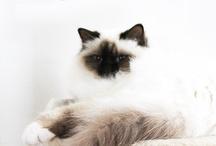 My cats / My birman cats