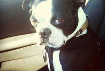 Boston Terriers - Best dogs in MY world / Best companions ever.  I have two, Junior and Sookie, they truly are my BFFs