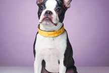 Animals: Dogs - Boston Terriers