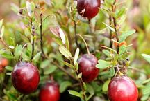 Cranberry Season / Goodness Greeness is proud to offer delicious and local cranberries from Sandhill Cranberry.  Enjoy these recipes and fun facts about this amazing fruit!  To order, visit www.goodnessgreeness.com.