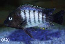 Fish Tanganika
