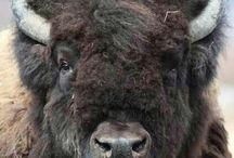 Mis Bisontes