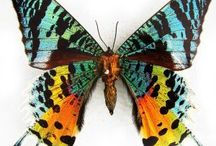 Butterfly Kelebekler