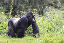 Lowis & Leakey | Rwanda / There is no experience in the world that can match being up close to a wild mountain gorilla