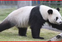 Funny Fact of Panda / The board is about funny fact of panda only for panda lovers.