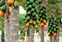 Papaya Tree / the board is for about papaya fruit and papaya tree or papaya plants. any kind of papaya or pawpaw fruits on the world.